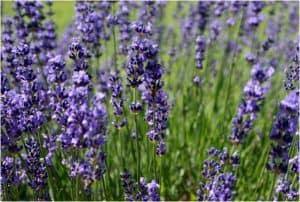 Lavender in field.
