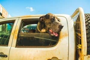 Dog with head hanging out of car window.