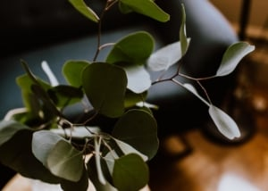 Close up of eucalyptus leaves.