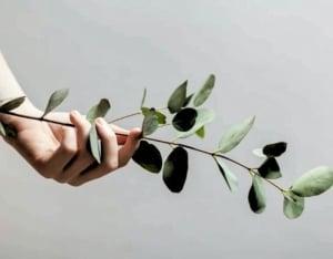 Hand holding eucalyptus leaves.