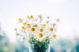 Chamomile flowers in vase.