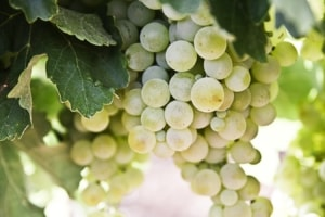 Grapes hanging from vine.
