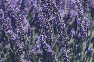 Close up of lavender field.