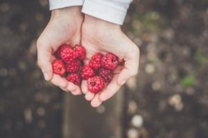 Hand holding raspberries.