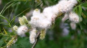 White willow bark.